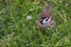 Moineau friquet posé dans l'herbe avec des végétaux dans le bec