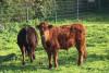Deux bœufs pâturent dans un pré enherbé