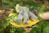 une main tient une assiette jaune dans laquelle 3 rouleaux de printemps sont disposés avec un bouquet d'herbes fraîches, du chou-fleur, des fèves et des petits pois, disposés autour