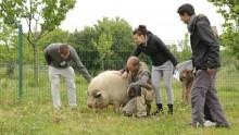 Des animateurs caressent un cochon