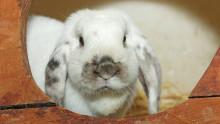 Une lapine bélier blanche en gros plan dans son clapier