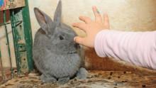 Un main d'enfant va pour caresser un lapin gris dans son enclos