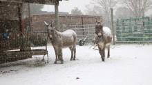 Deux ânes sous la neige