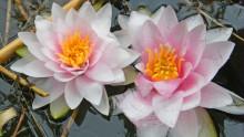 2 fleurs de nénuphar