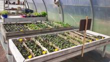 Semis en pots de différentes plantes potagères entreposés sur des tables à semis dans une serre