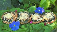 Les tartelettes sont installées au potager sur des feuilles d'épinard et quelques fleurs comestibles déposées autour (capucine et sauge)