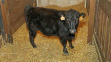 Le veau Titi dans la grange