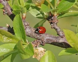 Une coccinelle dans un arbre fruitier