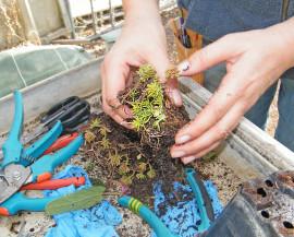 Des mains en gros plan en train de faire une bouture de plante grasse