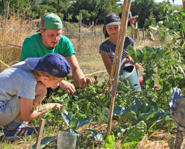 deux enfant et un animateur coupent les gourmands de tomates qui ont poussé sur un jardin en lasagne