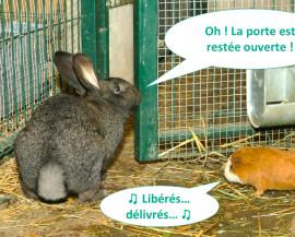 Un lapin et un cochon d'Inde s'échappent de leur enclos