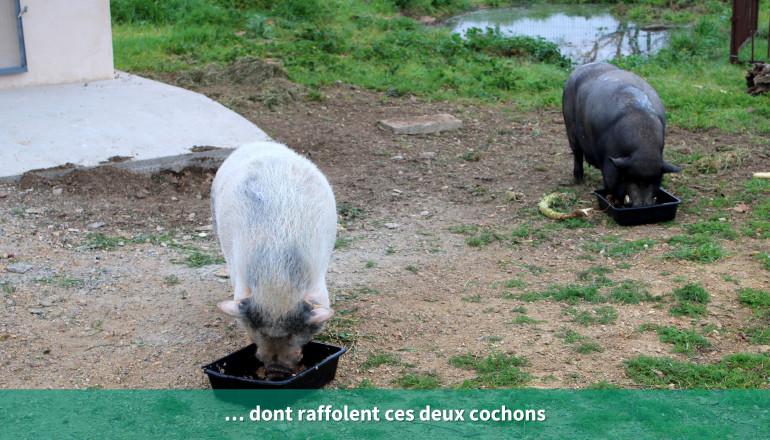 … dont raffolent ces deux cochons