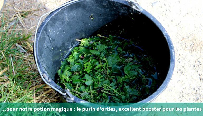 ...pour notre potion magique: le purin d'orties, excellent booster pour les plantes