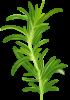 Branche de romarin