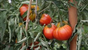 Gros plan de tomates sur leurs pieds