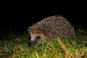 Hérisson marchant dans l'herbe la nuit