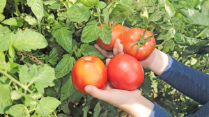 Des mains d'enfant tiennent des tomates