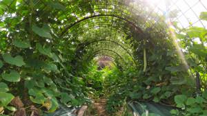 Photo prise à l'intérieur du tunnel de courges