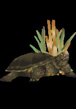 Illustration d'une tortue cistude d'Europe devant des roseaux